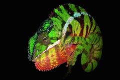 Camaleonte della pantera Fotografie Stock Libere da Diritti