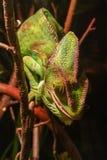 Camaleonte di colore Fotografia Stock