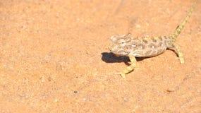 Camaleonte di Namaqua Fotografia Stock Libera da Diritti