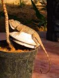 Camaleonte indiano Immagine Stock