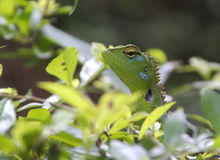 Camaleonte nello Sri Lanka Fotografia Stock