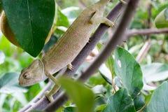 Camaleonte su un albero #2 Immagine Stock Libera da Diritti