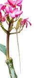 Camaleonte su un albero del frangipane Fotografia Stock