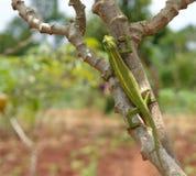Camaleonte su un ramo in Africa Immagini Stock Libere da Diritti