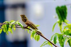 Camaleonte sul ramo dell'albero Fotografia Stock
