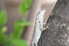 Camaleonte sull'albero sul fondo della natura Immagini Stock Libere da Diritti