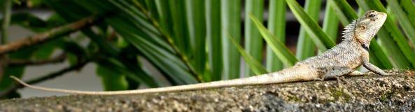 Camaleonte sulla parete Fotografia Stock