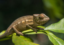 Camaleonte variopinto del Madagascar, fuoco molto basso Immagine Stock Libera da Diritti