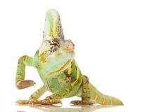 Camaleonte velato Fotografia Stock Libera da Diritti