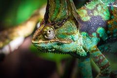 Camaleonte velato foresta pluviale africana che sembra vicino su dal ramo Fotografie Stock