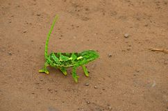 Camaleonte verde Fotografia Stock Libera da Diritti