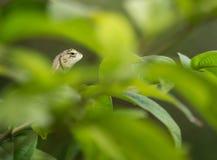 Camaleonte verde del bambino Fotografie Stock