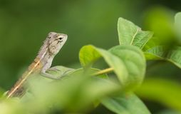 Camaleonte verde del bambino Fotografia Stock