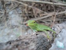 camaleonte verde su un tronco di albero asciutto fotografie stock