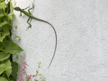 Camaleonte verde su una parete bianca Immagini Stock