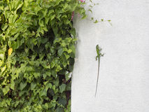 Camaleonte verde su una parete bianca Fotografie Stock