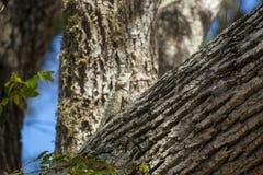 Camaleonte, zeylanicus del chamaeleo immagini stock libere da diritti