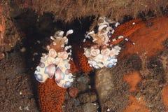 Camarão de Harliquin Imagem de Stock