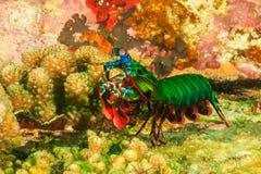 Camarão de louva-a-deus do pavão Fotos de Stock Royalty Free