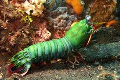 Camarão de Mantis Fotografia de Stock Royalty Free