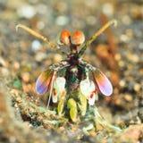 Camarão de Mantis Fotografia de Stock