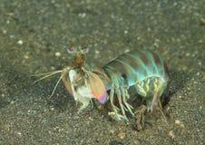 Camarão de mantis sensacional Foto de Stock