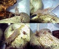 Camarão do aquário Fotografia de Stock