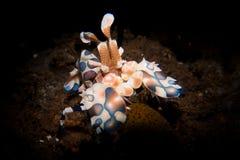 Camarão do arlequim - picta de Hymenocera foto de stock