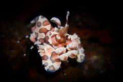Camarão do arlequim - picta de Hymenocera fotografia de stock royalty free