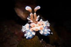 Camarão do arlequim - picta de Hymenocera fotos de stock royalty free