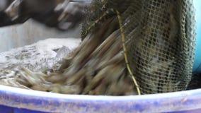 Camarão do mergulho do trabalhador da cubeta na cubeta de gelo video estoque