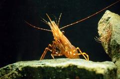 camarão em uma rocha Imagens de Stock