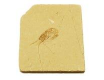 Camarão fóssil do oceano antigo Fotos de Stock