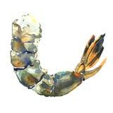 Camarão fresco cru do tigre, camarão, isolado, ilustração da aquarela no branco ilustração royalty free