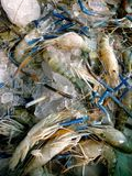 Camarão fresco no mercado Imagens de Stock Royalty Free