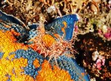 Camarão horned muito minúsculo (echinata dana do paracrangon) Fotografia de Stock