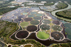 Camarão que cultiva na lagoa Fotos de Stock