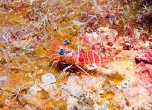 Camarão vermelho da noite Foto de Stock Royalty Free