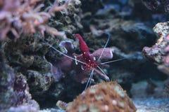Camarão vermelho do líquido de limpeza Fotografia de Stock