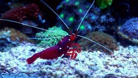 Camarão vermelho do líquido de limpeza no tanque do aquário do recife Fotos de Stock