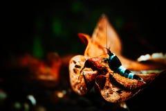 Camarón agradable de la panda del caridina en el tanque Foto de archivo libre de regalías