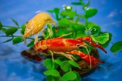 Camarón, cangrejo rojo en una hoja del loto en la charca imagen de archivo