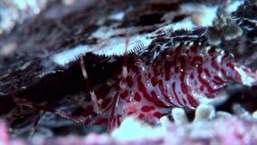 Camarón de cristal del tigre enmascarado en busca del fondo del mar subacuático de la comida del mar blanco metrajes