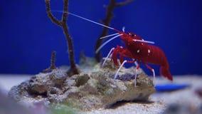 Camarón vivo subacuático almacen de video