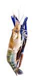 Camarões crus isolados dentro no branco Imagem de Stock