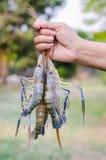 Camarões frescos fotos de stock
