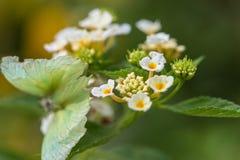 camara цветет lantana Стоковое Изображение RF