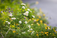 camara цветет lantana Стоковая Фотография RF