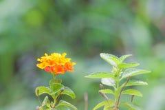 Camara de Lantana, tissu des fleurs d'or photo libre de droits