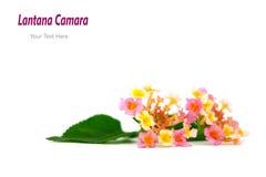 Camara del Lantana Fotografie Stock
